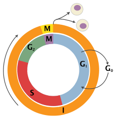 Cell_Cycle_2-2