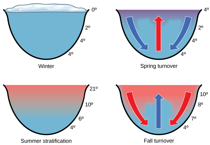 The spring and fall turnovers are important processes in freshwater lakes that act to move the nutrients and oxygen at the bottom of deep lakes to the top. Turnover occurs because water has a maximum density at 4 °C. Surface water temperature changes as the seasons progress, and denser water sinks. How might turnover in tropical lakes differ from turnover in lakes that exist in temperate regions? (Source: Open Stax Biology