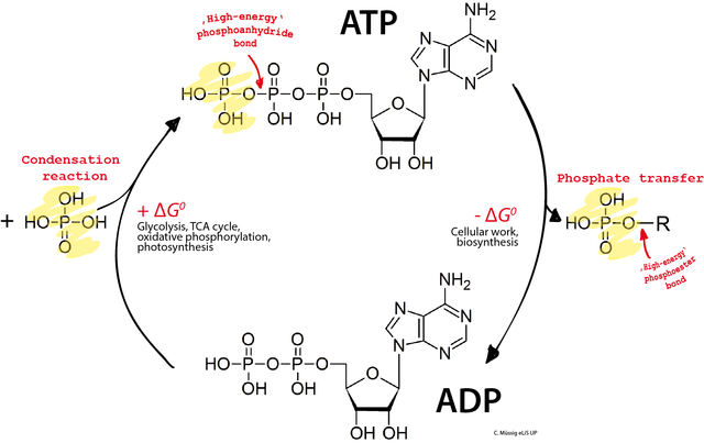 640px-adp_atp_cycle