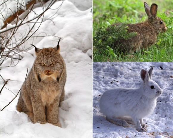 Canadian Lynx and Snowshoe Hare
