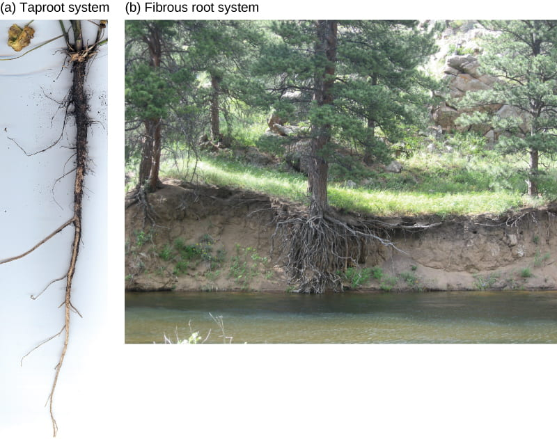 Examples of plant tap roots alone and along a weathered river bank