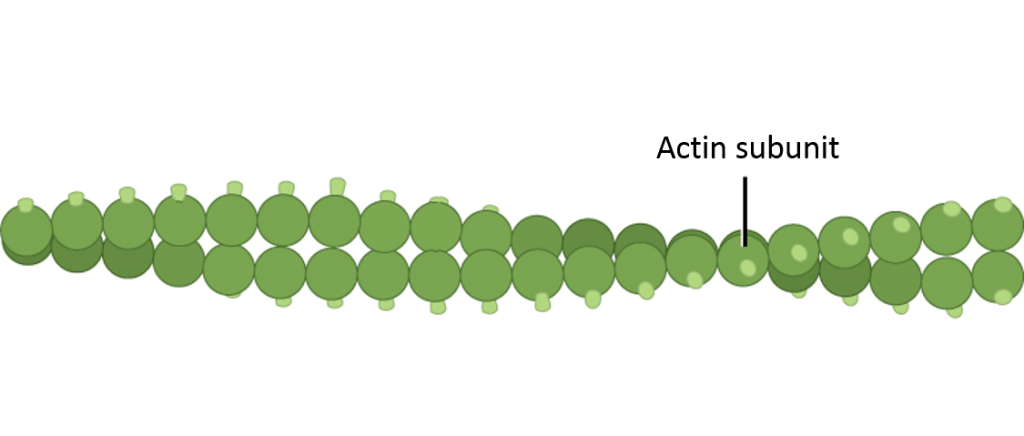 microfilament-structure-1024x436.png