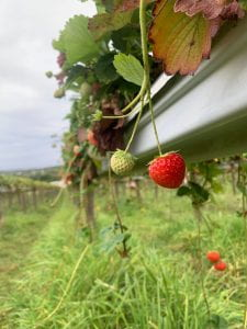 An image of strawberries growing from a planter. One red strawberry is in the center of the image behind it are several whitish-green strawberries that are yet to ripen.