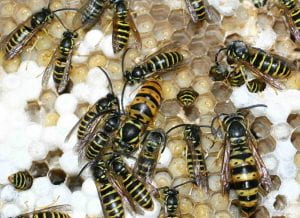 Yellowjacket queen, gyne, and males